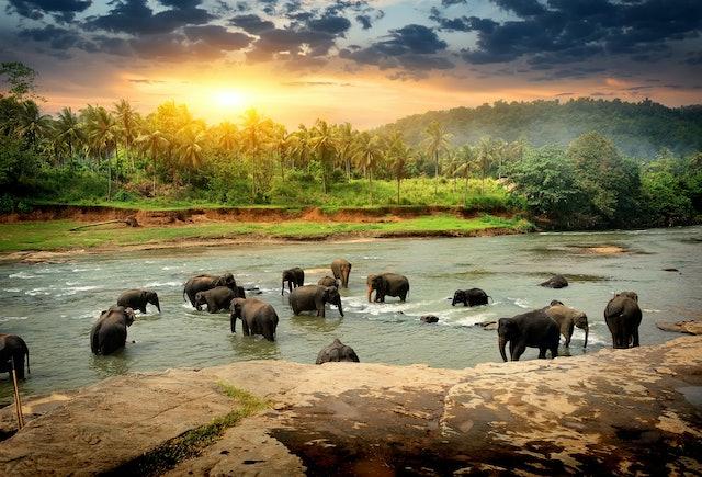 Herd of elephants bathing in the jungle river of Sri Lanka