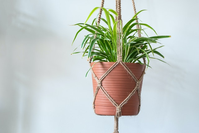 A Jute Twine macrame plant hanger with a Spider Plant (Chlorophytum Comosum) inside of a planter.