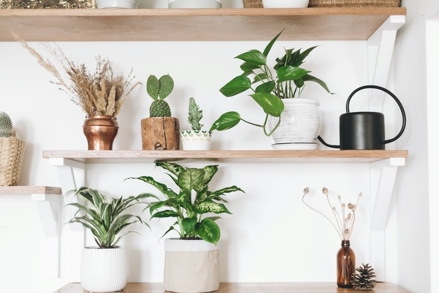 Stylish green plants, black watering can, boho wildflowers on wooden shelves. Modern hipster room decor. Cactus, epipremnum pothos, dracaena, dieffenbachia flower pots on shelf