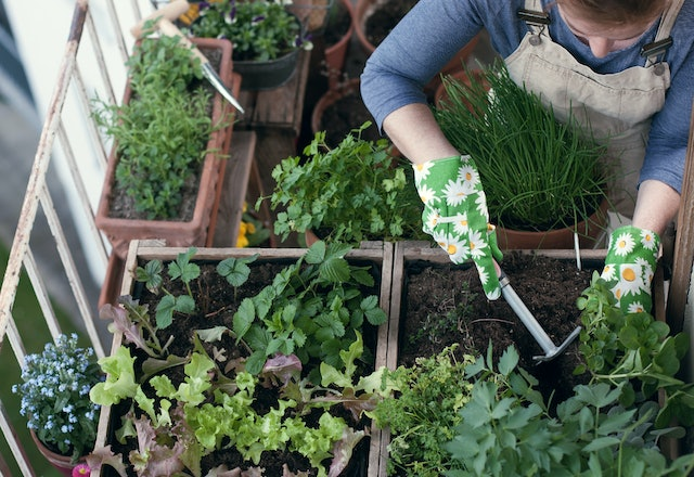Woman planting vegetables and herbs in high bed on balcony